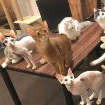 CatCafe 進ゲキの猫