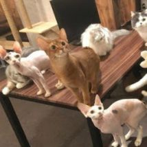 猫カフェ(CatCafe) 進ゲキの猫 東京